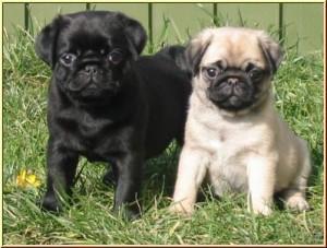pug breeders