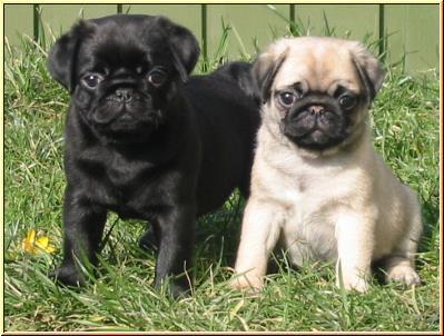 pug breeders   www.pugs.co.uk