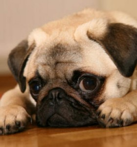 Puppies on Pug Puppies   Www Pugs Co Uk