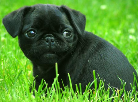 "Responses to ""black pug"""