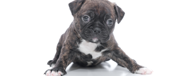 pug puppy image