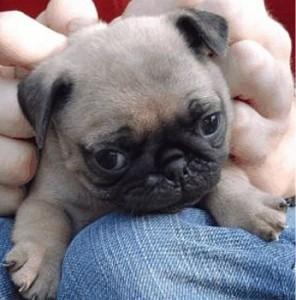 pug-puppy-image