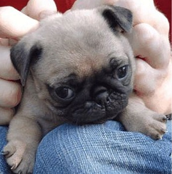 Puppies on So You Want A Pug Puppy Pug Puppy Image          Www Pugs Co Uk