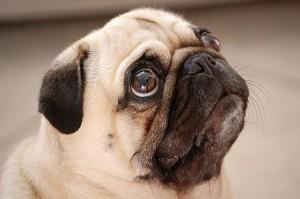 pugs profile