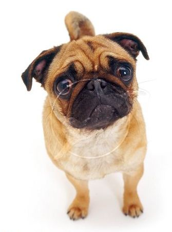 Wonderful World Of Coloured Pugs Wwwpugscouk