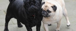Pug Acts As a Guide Dog For His Best Friend.