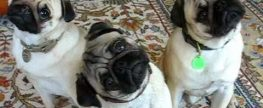 Pugs' Head Tilt – what does it mean